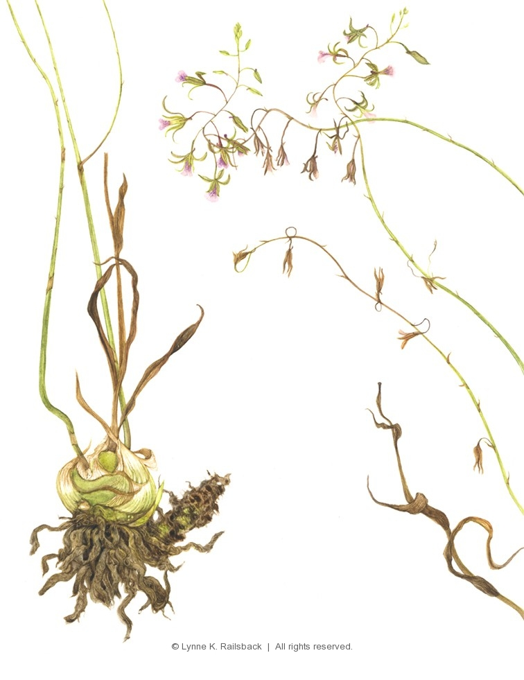 """Beautiful Crown Orchid"", <em>Eulophia gramines</em>, 2017, 10.5""w x 13.5""h"