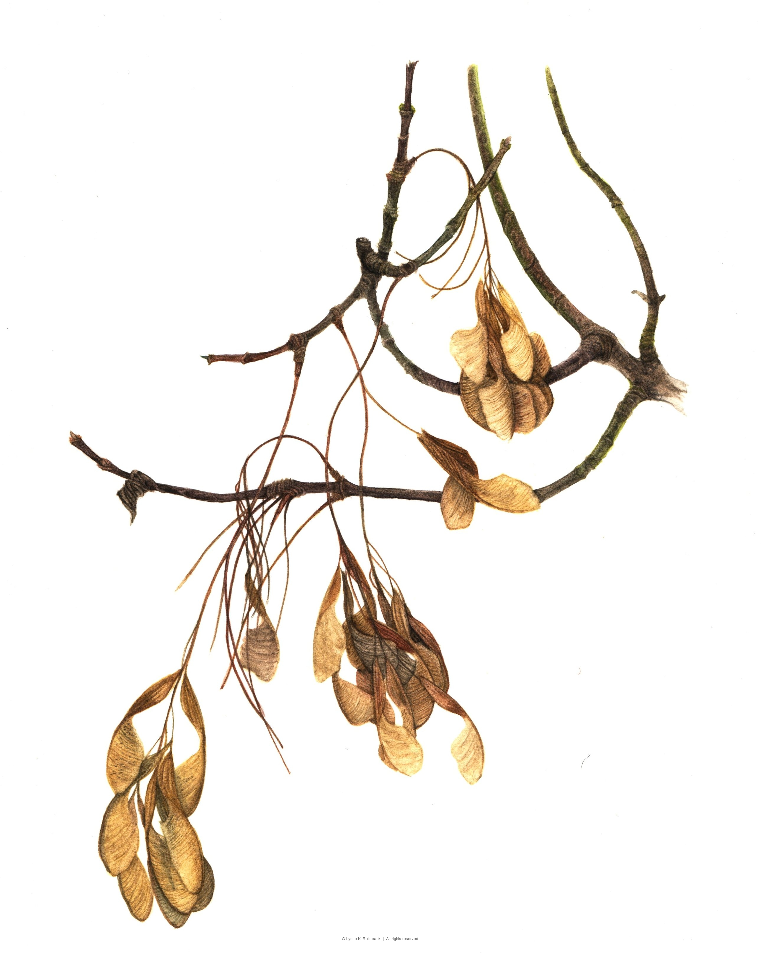 """Box Elder Branch"" <em>Acer nequndo</em>, 2009"