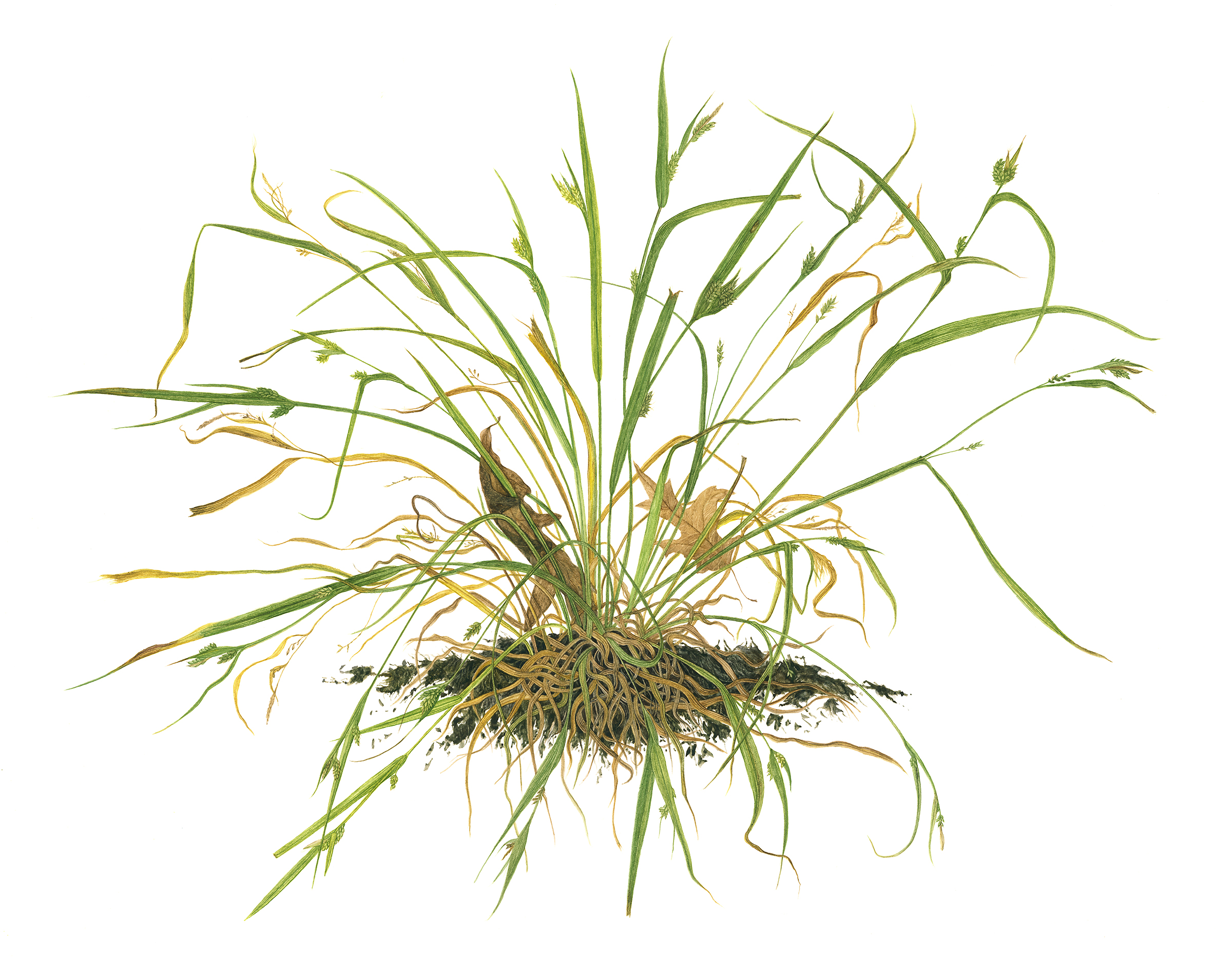 """Fox Sedge"", Carex vulpinoides, 2019, 24""w x 18""h"