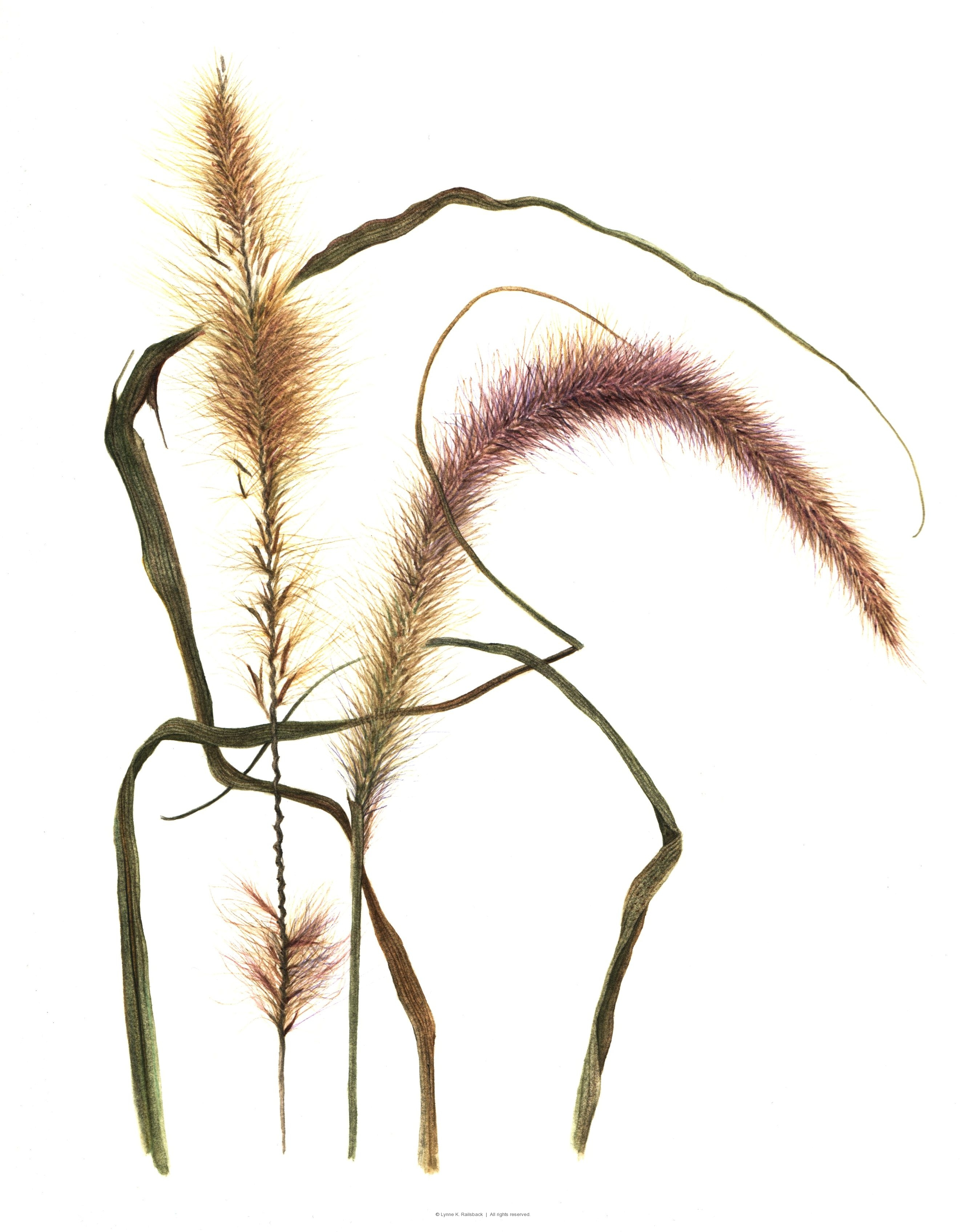 """Purple Fountain Grass"", Pennisetum sectaceum, 2009, 7.5""w x 9.5""h"