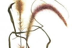 """Purple Fountain Grass"", <em>Pennisetum sectaceum</em>, 7.5""w x 9.5""h, 2009"