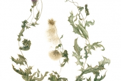 """Three California Thistles"", <em>Cirsiun arvense</em>, 2014, 10.5""w x 13.5""h"